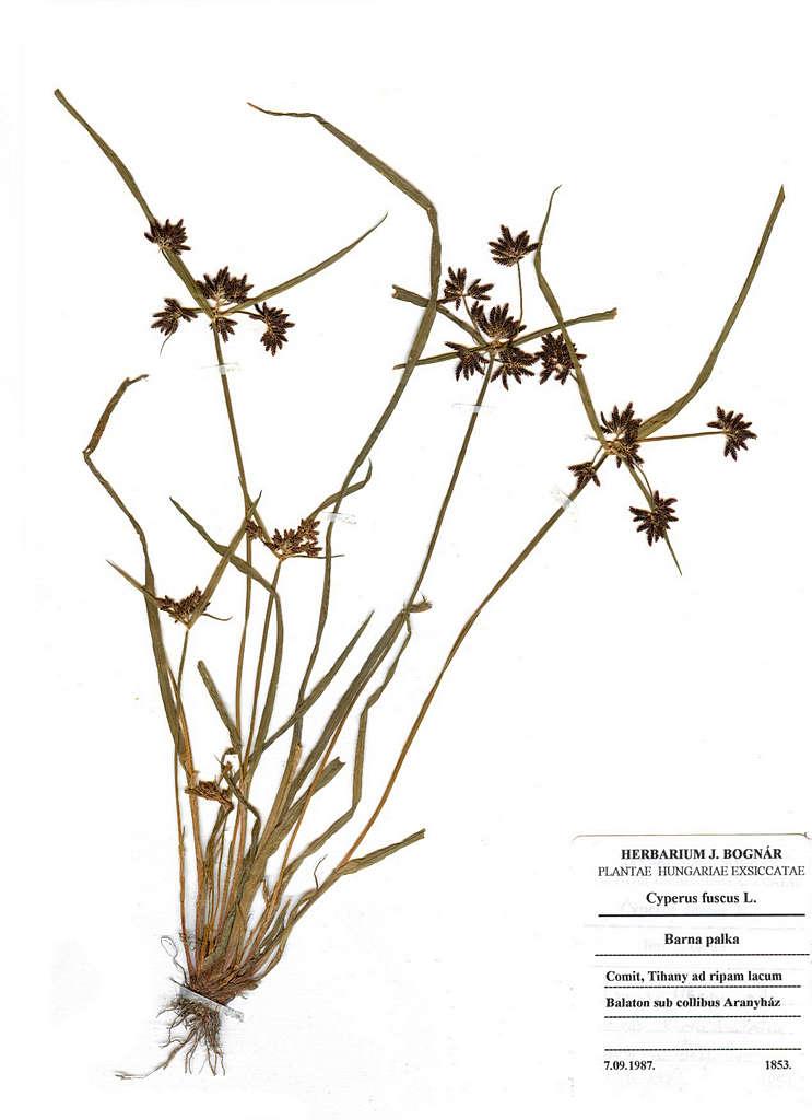 terra alap237tv225ny cyperus fuscus l barna palka